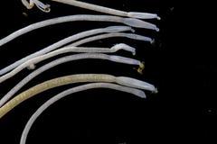 Studien av Acanthocephala är en provins av parasitiskt avmaskar bekant som acanthocephalans som taggig-är hövdade avmaskar fotografering för bildbyråer