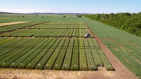 Studies of rye and wheat varieties. Flying over the field of plots for crop research. Scientists are testing the effect