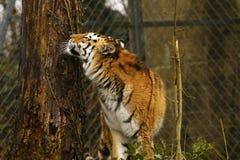 Studio capo della tigre siberiana Fotografie Stock Libere da Diritti