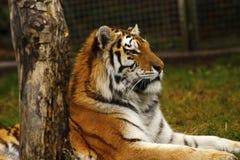 Studio capo della tigre siberiana Immagini Stock