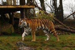 Studio capo della tigre siberiana Fotografia Stock