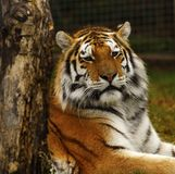 Studio capo della tigre siberiana Immagini Stock Libere da Diritti