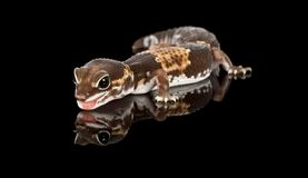 Studio captured image of a fat tailed geckco stock photo