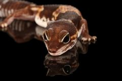 Studio captured image of a fat tailed geckco royalty free stock photo