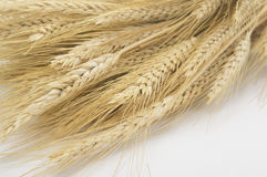 Studio Close Up Wheat Stalks Stock Photography