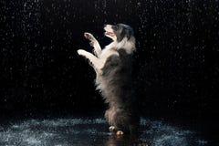 Studio dell'acqua, border collie sui precedenti scuri con pioggia fotografia stock libera da diritti