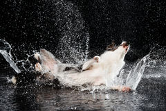 Studio dell'acqua, border collie sui precedenti scuri con pioggia Fotografia Stock