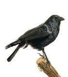 Carrion Crow Stock Image