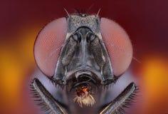 Studio marcato e dettagliato estremo della mosca Fotografia Stock