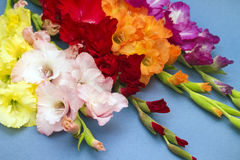 Studio photo of amazing gladiolus flowers Stock Images