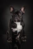 Studio photo  of french bulldog over black background Royalty Free Stock Photos