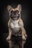 Studio photo  of french bulldog over black background Stock Photo