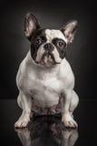 Studio photo  of french bulldog over black background Royalty Free Stock Images
