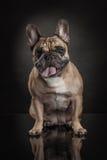 Studio photo  of french bulldog over black background Stock Image