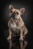 Studio photo  of french bulldog over black background Stock Photography