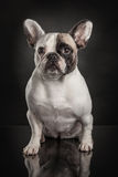 Studio photo  of french bulldog over black background Royalty Free Stock Photography