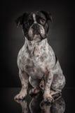 Studio photo  of french bulldog over black background Royalty Free Stock Photo