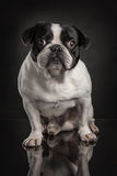 Studio photo  of french bulldog over black background Royalty Free Stock Images