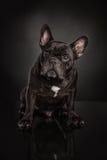 Studio photo  of french bulldog over black background Royalty Free Stock Photography
