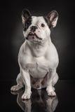 Studio photo  of french bulldog over black background Stock Photos