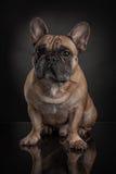 Studio photo  of french bulldog over black background Royalty Free Stock Image
