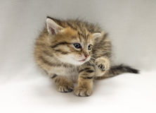 Studio photo of funny little kitten scratched Royalty Free Stock Photo