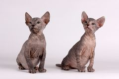 Don Sphynx cat on colored backgrounds. Studio photography of the don sphynx cat on colored backgrounds stock photography
