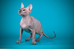 Don Sphynx cat on colored backgrounds. Studio photography of the don sphynx cat on colored backgrounds stock photos