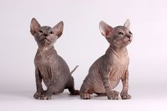Don Sphynx cat on colored backgrounds. Studio photography of the don sphynx cat on colored backgrounds stock images