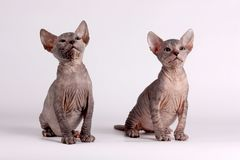 Don Sphynx cat on colored backgrounds. Studio photography of the don sphynx cat on colored backgrounds royalty free stock photo