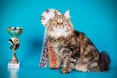 Kurilian bobtail cat on colored backgrounds. Studio photography of a kurilian bobtail cat on colored backgrounds royalty free stock image