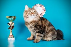 Kurilian bobtail cat on colored backgrounds. Studio photography of a kurilian bobtail cat on colored backgrounds stock images