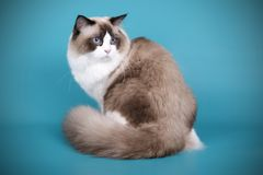 Ragdoll cat on colored backgrounds. Studio photography of a ragdoll cat on colored backgrounds royalty free stock image