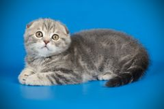 Scottish fold shorthair cat on colored backgrounds. Studio photography of a scottish fold shorthair cat on colored backgrounds royalty free stock photos