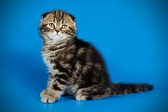 Scottish fold shorthair cat on colored backgrounds. Studio photography of a scottish fold shorthair cat on colored backgrounds royalty free stock photography