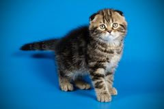 Scottish fold shorthair cat on colored backgrounds. Studio photography of a scottish fold shorthair cat on colored backgrounds stock photography