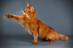 Somali cat on colored backgrounds. Studio photography of a Somali cat on colored backgrounds stock image