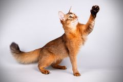 Somali cat on colored backgrounds. Studio photography of a Somali cat on colored backgrounds stock image