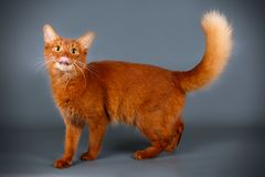 Somali cat on colored backgrounds. Studio photography of a Somali cat on colored backgrounds royalty free stock image