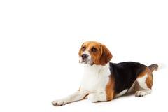Studio-Porträt des Spürhund-Hundes liegend gegen Weiß  Stockbild