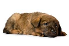 Studio portrait of a admirable puppy Stock Image