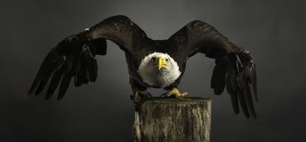 Studio portrait American Bald Eagle grey background wings spread stock images
