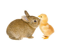 Studio portrait of baby bunny kissing a little chick Stock Photo