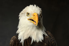 Studio Portrait of Bald Eagle Stock Images