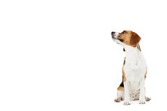 Studio Portrait Of Beagle Dog Against White Backgr Stock Photography