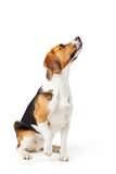 Studio Portrait Of Beagle Dog Against White Background Stock Photos