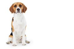 Studio Portrait Of Beagle Dog Against White Background Royalty Free Stock Photos