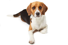 Studio Portrait Of Beagle Dog Lying Against White Background Stock Photo