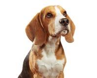 Studio portrait of beagle isolated on white background Stock Image