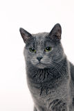Studio portrait of a beautiful grey cat on white background Stock Image